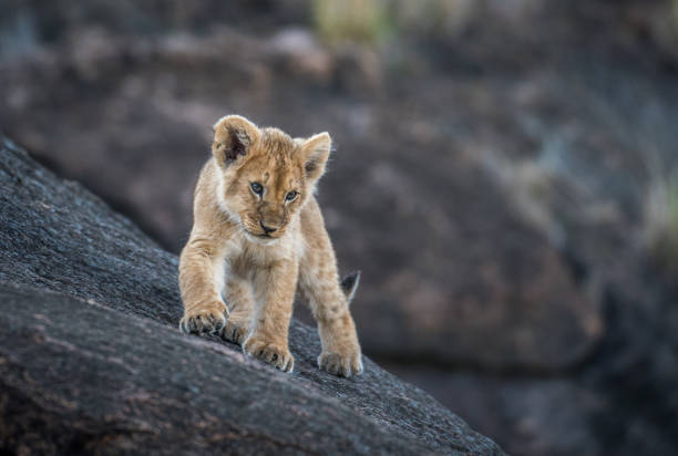 Lion cub on a rock Cute African lion cub exploring a large rock in Masai Mara, Kenya lion cub stock pictures, royalty-free photos & images