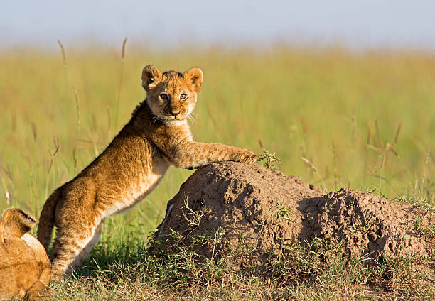 Lion Cub Newborn lion cub climbing on a termite mound - Masai Mara, Kenya lion cub stock pictures, royalty-free photos & images