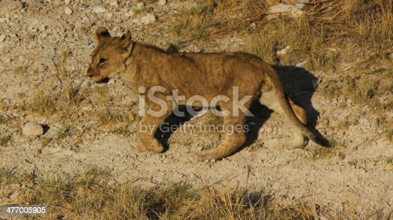 Baby Loin cub in Africa