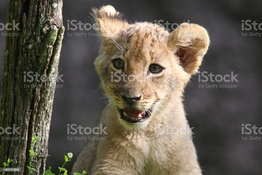 Lion Cub Portrait of a lion cub at Busch Gardens in Tampa, Florida Africa Stock Photo