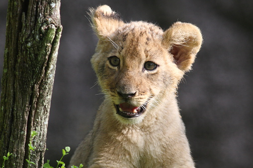 Lion Cub Stock Photo - Download Image Now