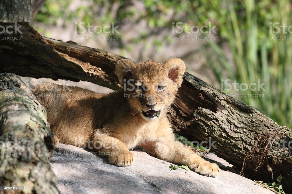 Lion Cub Portrait of a lion cub from Busch Gardens in Tampa, Florida Africa Stock Photo