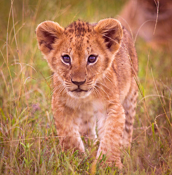 Lion cub Young lion cub - Masai Mara, Kenya lion cub stock pictures, royalty-free photos & images