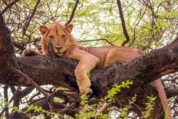 lion cub - royalty stock photos and pictures