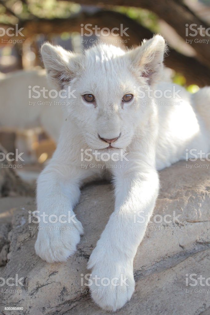Lion cub. stock photo