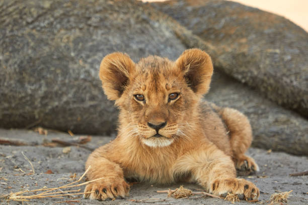 Lion cub This little lion cub was lying with his female family. lion cub stock pictures, royalty-free photos & images