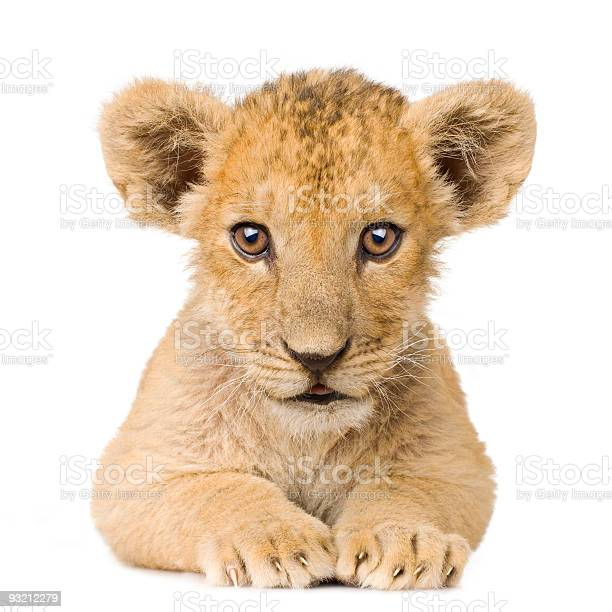 Lion cub picture id93212279?b=1&k=6&m=93212279&s=612x612&h=rgkeyjwrdb6qgfyqyexhcgnltxzjsptzhv1mdhcjofy=