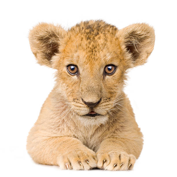 Lion Cub (3 months)  lion cub stock pictures, royalty-free photos & images