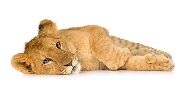 Lion Cub (6 months)  lion cub stock pictures, royalty-free photos & images