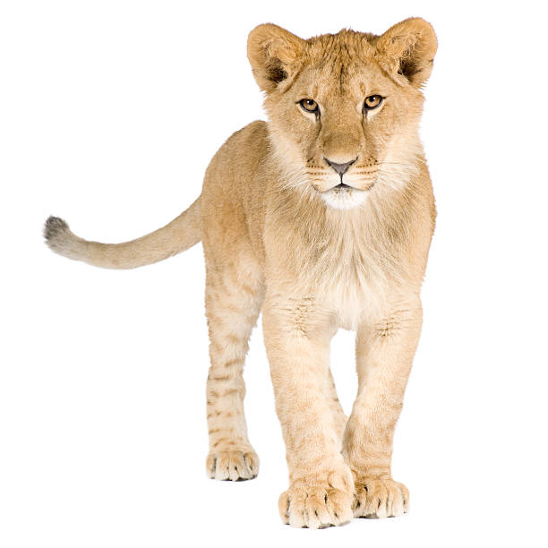 Lion cub (8 months)  lion cub stock pictures, royalty-free photos & images