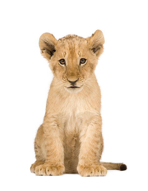 Lion Cub (4 months)  lion cub stock pictures, royalty-free photos & images
