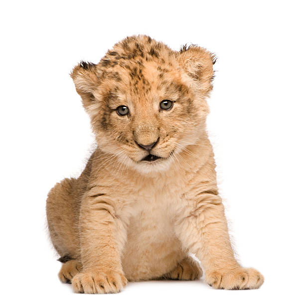 Lion Cub (6 weeks)  lion cub stock pictures, royalty-free photos & images