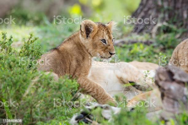 Lion cub playing in masai mara in kenya picture id1128469638?b=1&k=6&m=1128469638&s=612x612&h=5jkjxo9s5dn6z0trap qew 2n 7oqq9tqvwe3qutl4y=