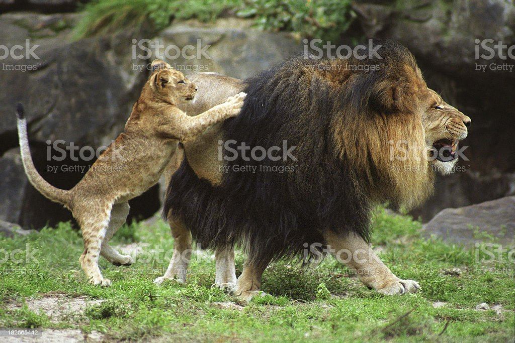 Lion Cub Playing with Father stock photo