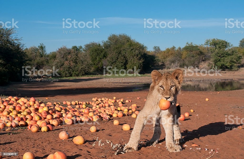 Lion cub playing with grapefruit royalty-free stock photo