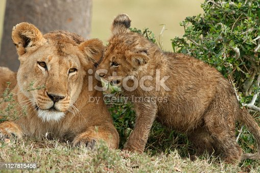 Lion cub (Panthera leo).Maasai Mara National Reserve (also known as Maasai Mara, Masai Mara and by the locals as The Mara) is a large game reserve in Narok County, Kenya, contiguous with the Serengeti National Park in Mara Region, Tanzania.