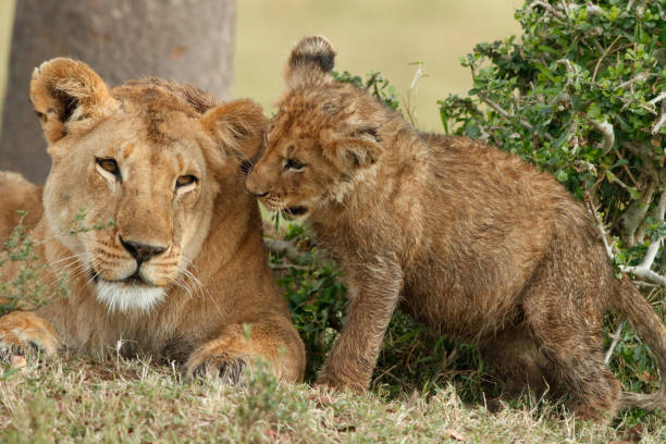 lion cub plays with mom - lioness stock photos and pictures