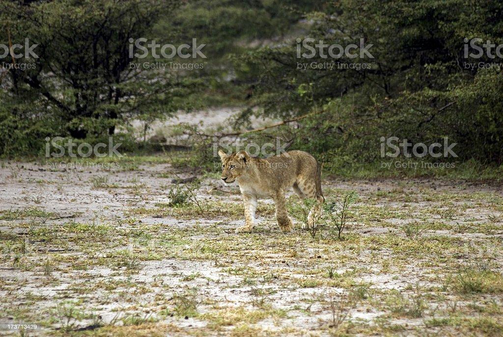 Lion cub, Selous National Park, Tanzania royalty-free stock photo