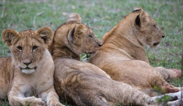Aslan yavrusu kardeşler stok fotoğrafı