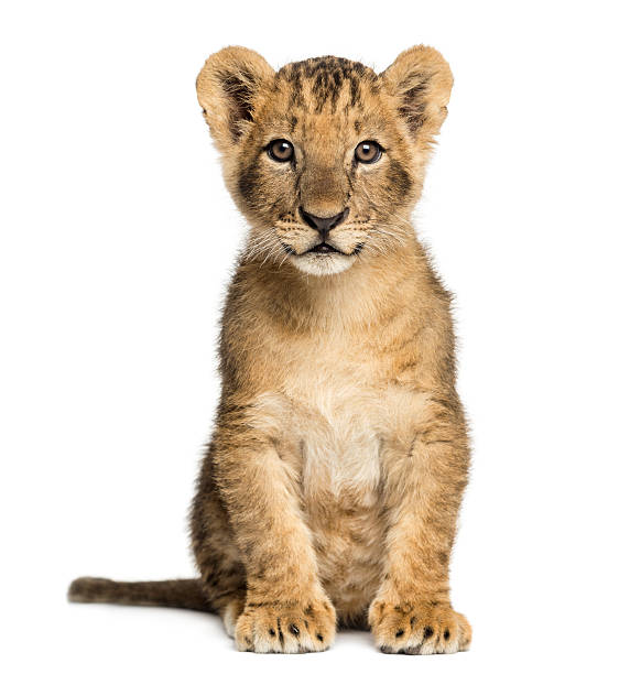 Lion cub sitting, looking at the camera, 10 weeks old stock photo
