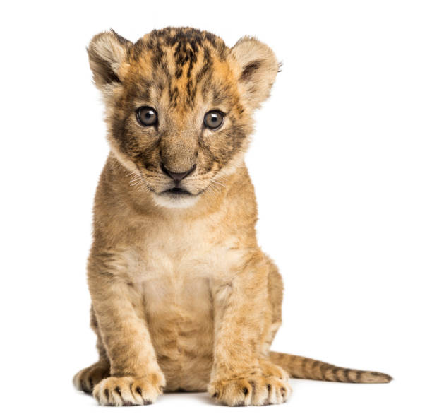 Lion cub sitting, looking at the camera, 4 weeks old, isolated on white Lion cub sitting, looking at the camera, 4 weeks old, isolated on white lion cub stock pictures, royalty-free photos & images