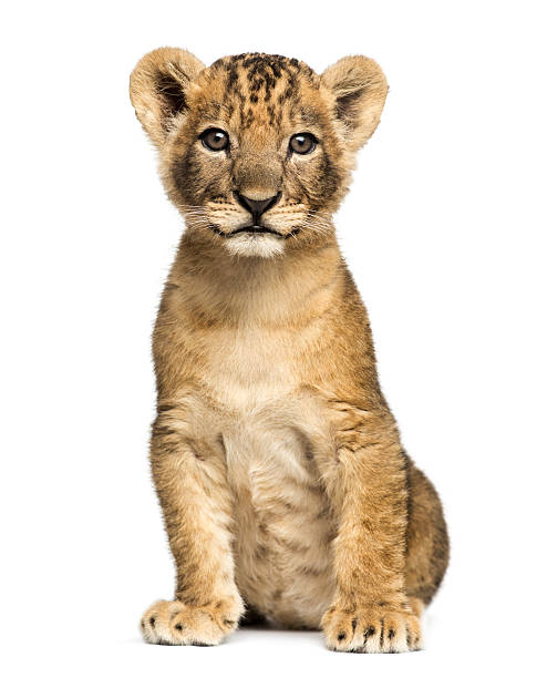 lion cub sitting, looking at the camera, 7 weeks old - stort kattdjur bildbanksfoton och bilder