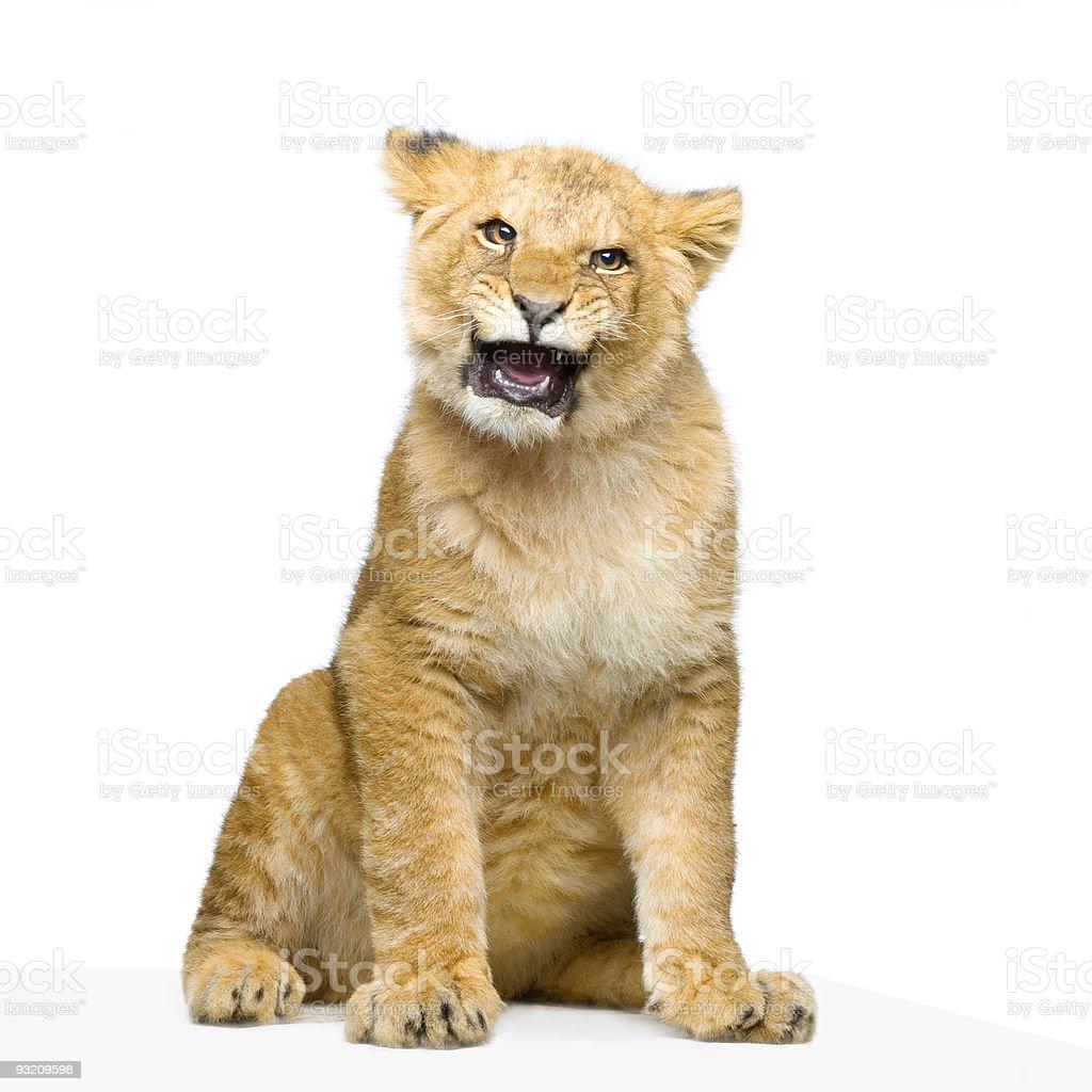 Lion Cub sitting stock photo