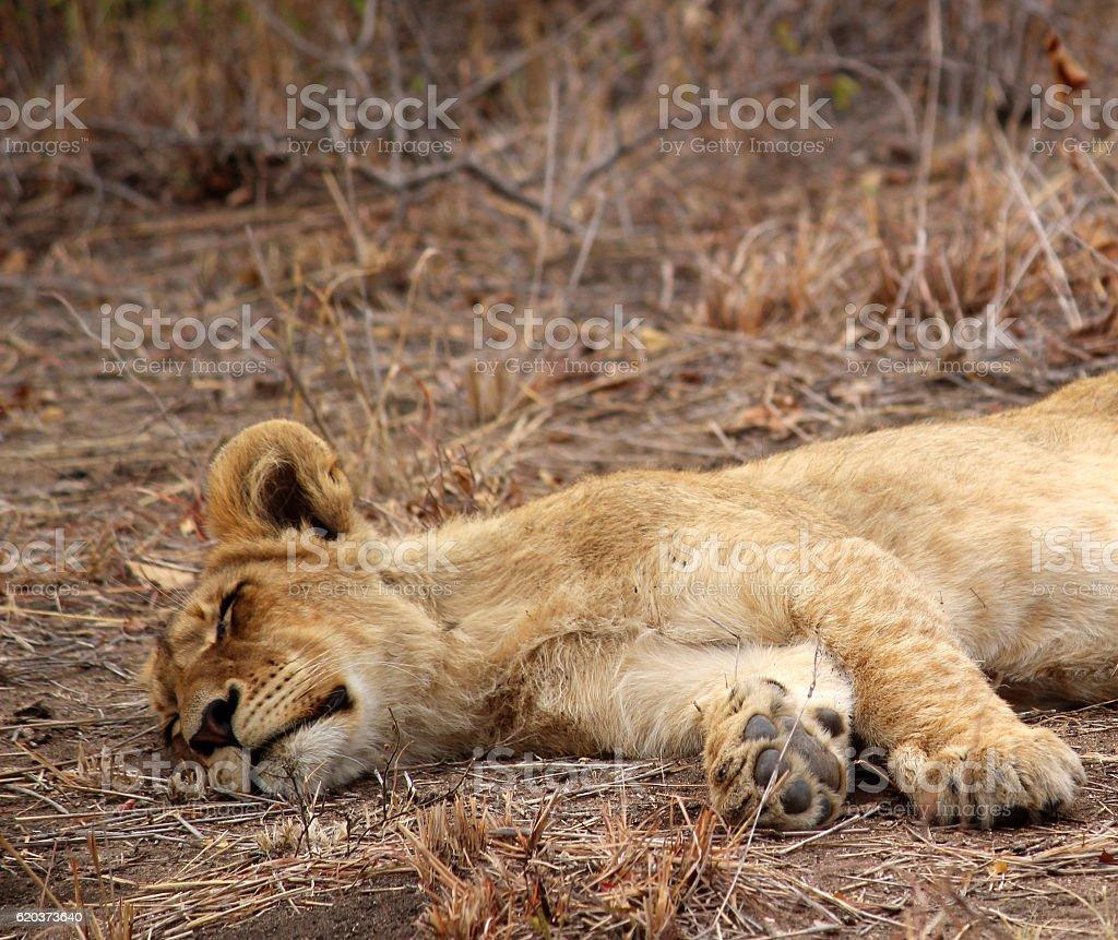 Lion Cub sleeping close up zbiór zdjęć royalty-free
