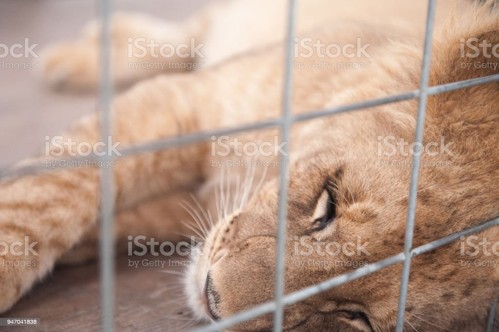 Lion Cub Sleeping In a Cage stock photo
