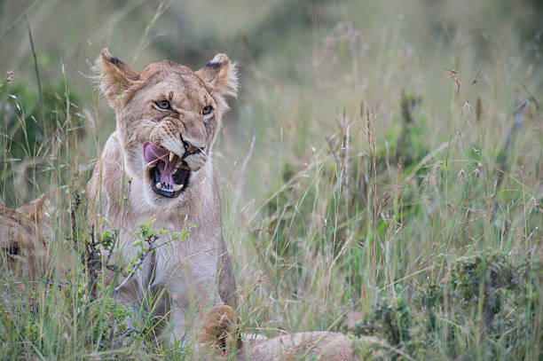 Lion Cub Snarling stock photo