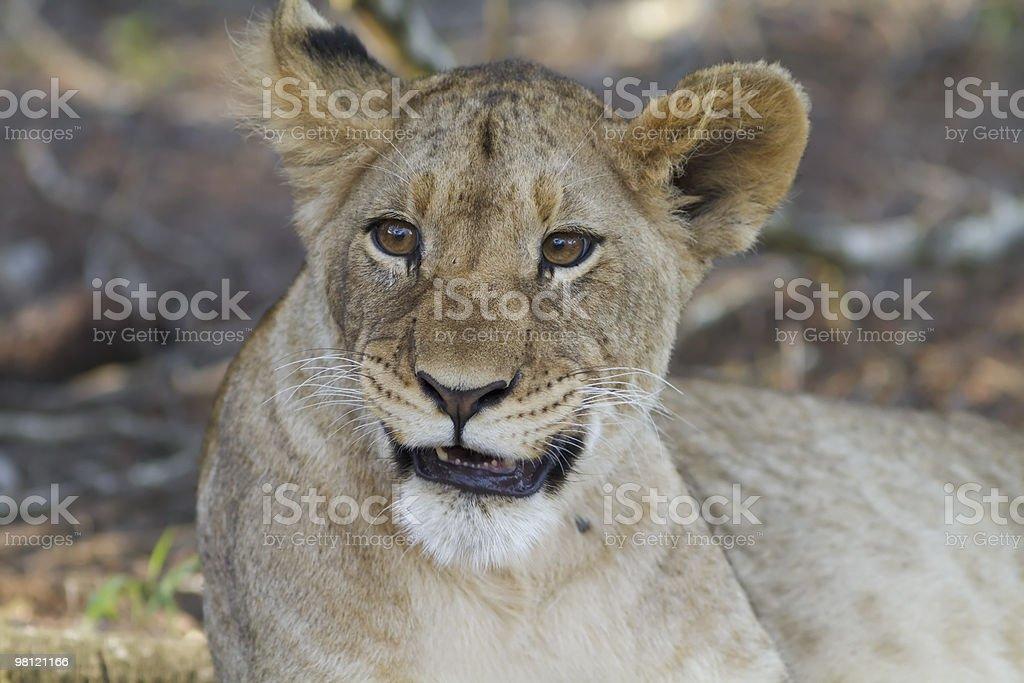 Lion cub snarls at camera royalty-free stock photo