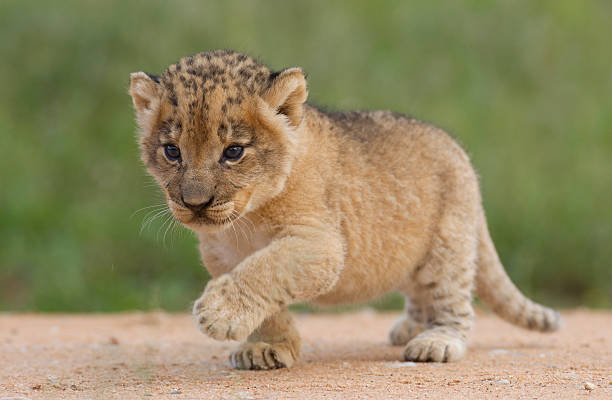 "Lion cub, South Africa ""Small Lion cub, (Panthera leo) in South Africa"" lion cub stock pictures, royalty-free photos & images"