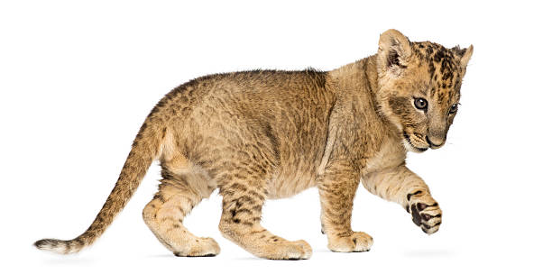 Lion cub standing, pawing up, 7 weeks old, isolated stock photo