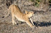 lion cub stretching in golden light