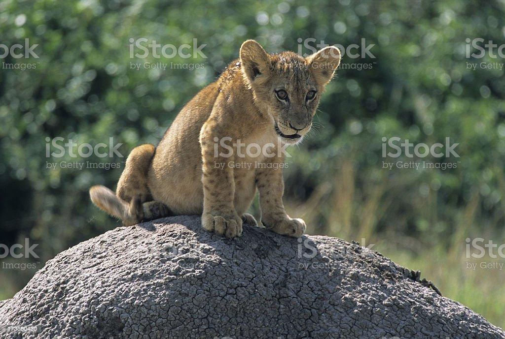 Lion cub, Uganda stock photo