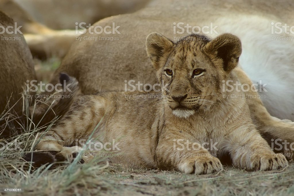 Lion Cub with Family Members stock photo