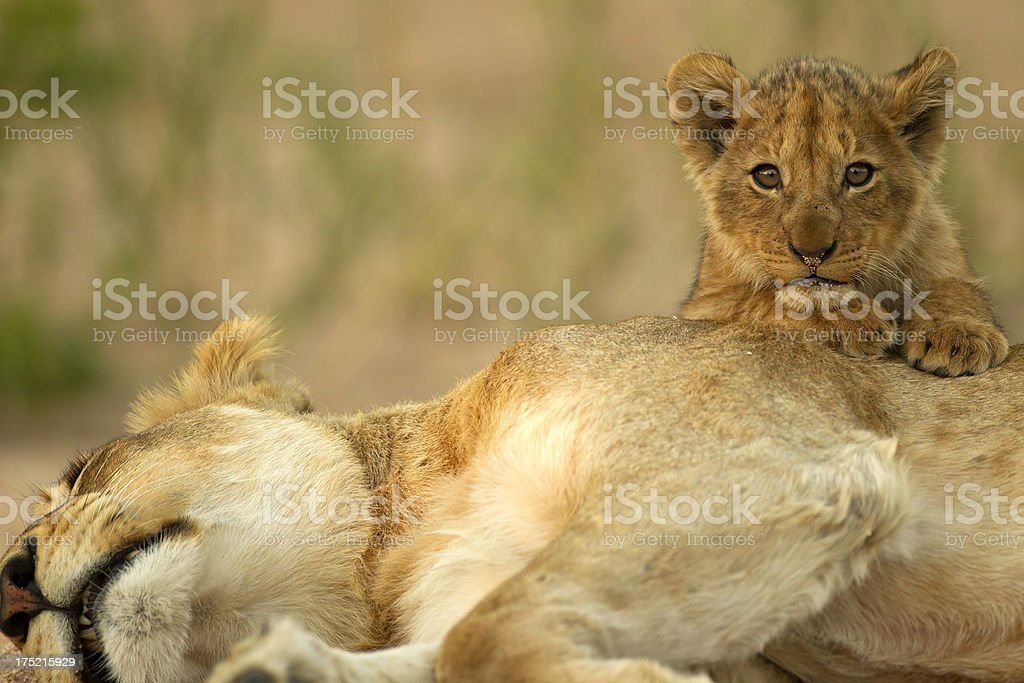 Lion Cub with mom royalty-free stock photo