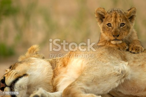 A lion cub climbs on mom in the kruger national park south africa