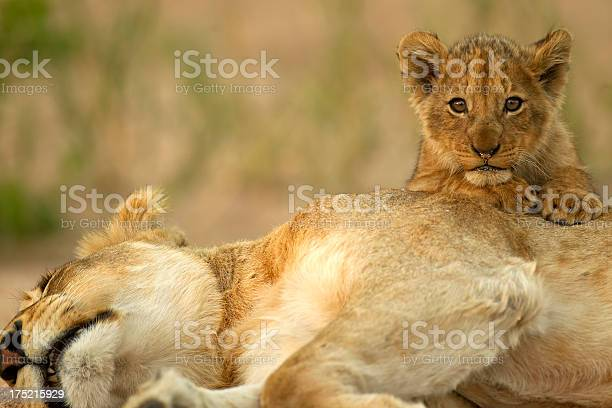 Lion cub with mom picture id175215929?b=1&k=6&m=175215929&s=612x612&h=y6ztgogbsqfx1so2d49ecunnw43wtklisrg8ka8 4lu=