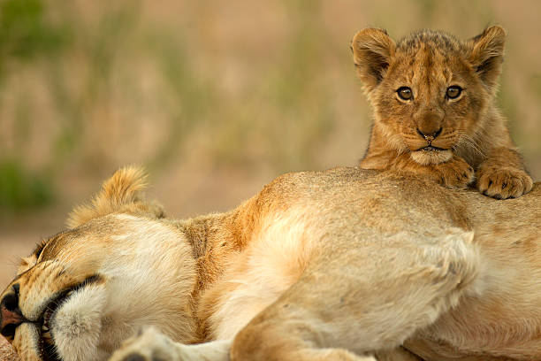 Lion Cub with mom A lion cub climbs on mom in the kruger national park south africa kruger national park stock pictures, royalty-free photos & images