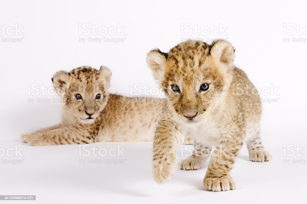 Lion cubs (Panthera leo) against white background, close up royalty-free stock photo