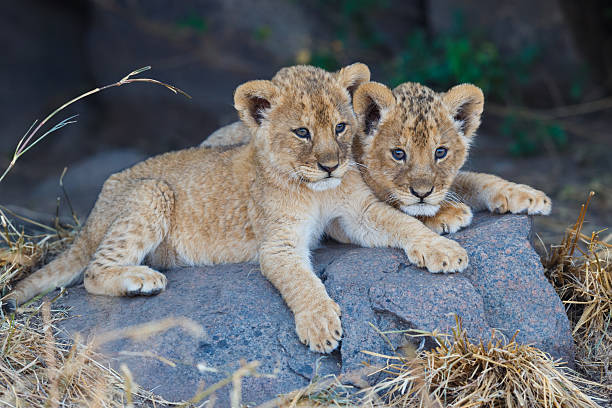 Lion Cubs at Serengeti National Park, Tanzania Africa Lion Cubs  lion cub stock pictures, royalty-free photos & images