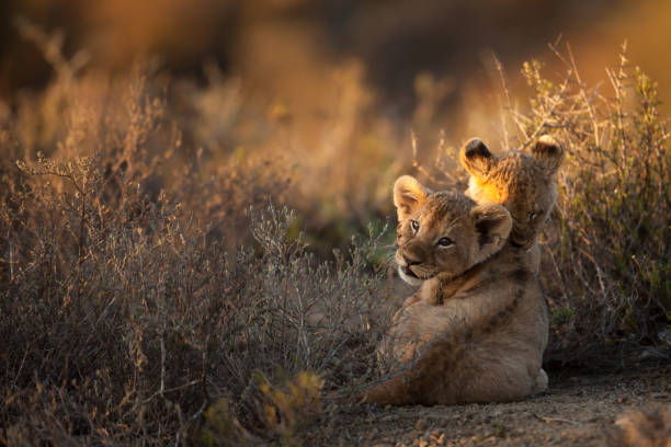 Lion cubs at sunrise Two lion cubs lying in the sun at sunrise lion cub stock pictures, royalty-free photos & images