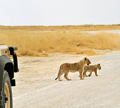 Lion cubs crossing the road in front of a vehicle,Etosha National Park,Namibia.