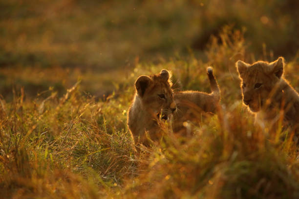 Lion cubs in the evening light stock photo