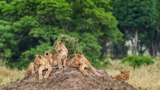 Lion cubs laying together waiting for mother. stock photo