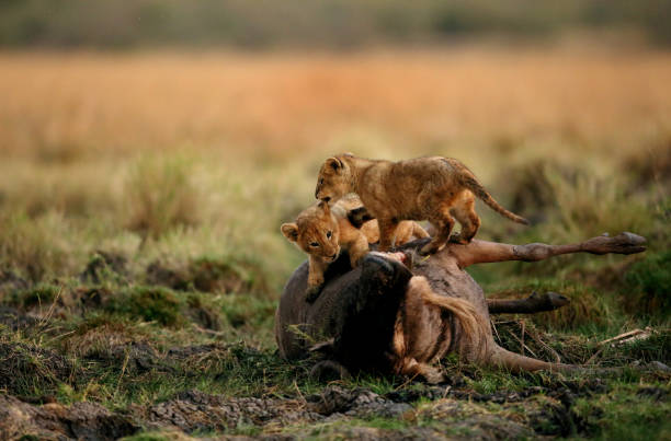 Lion cubs on carcass during sunset, Masai Mara stock photo