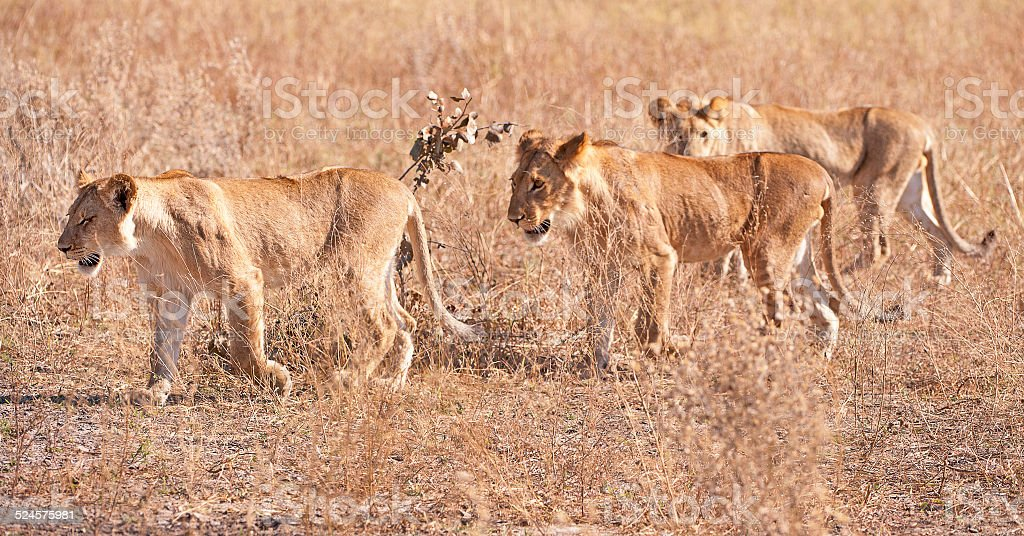 Lion cubs on the prowl, Botswana, Africa stock photo