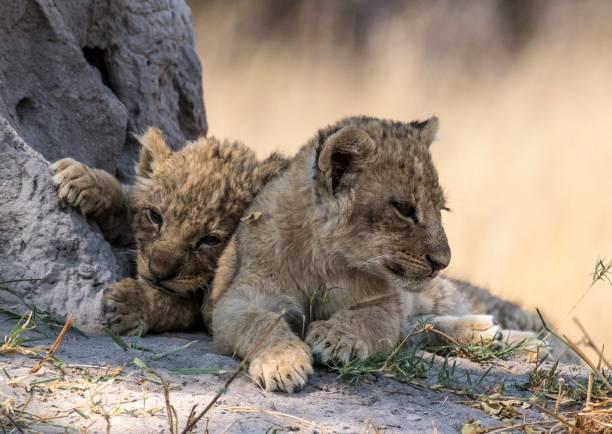 Lion cubs stock photo