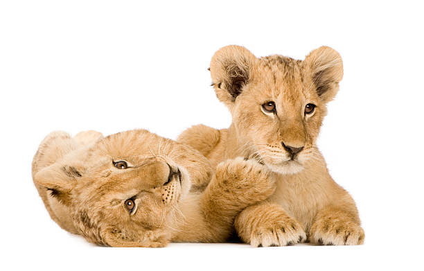 Lion Cubs (4 months)  lion cub stock pictures, royalty-free photos & images